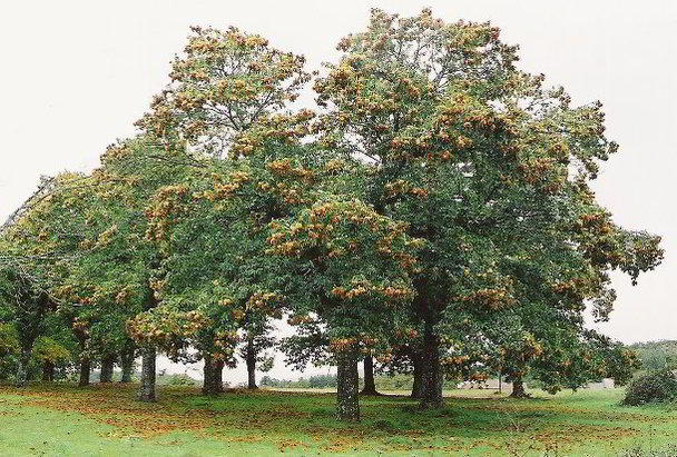 Chestnut trees loaded with nuts